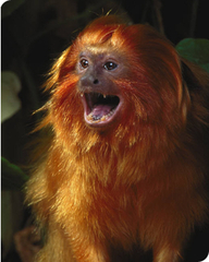 Golden_lion_tamarin_2